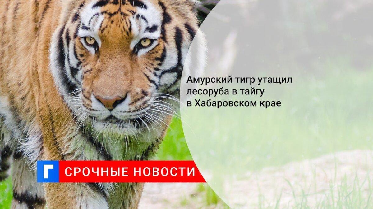 Амурский тигр утащил лесоруба в тайгу в Хабаровском крае