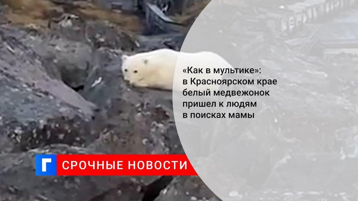 «Как в мультике»: в Красноярском крае белый медвежонок пришел к людям в поисках мамы