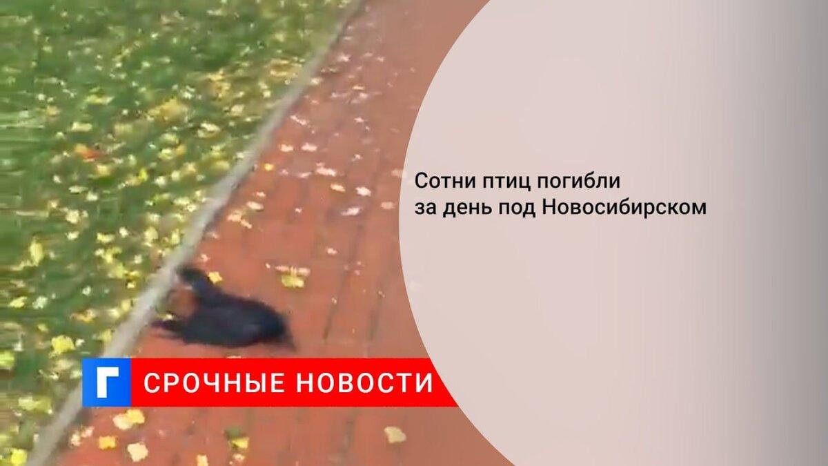 Сотни птиц погибли за день под Новосибирском
