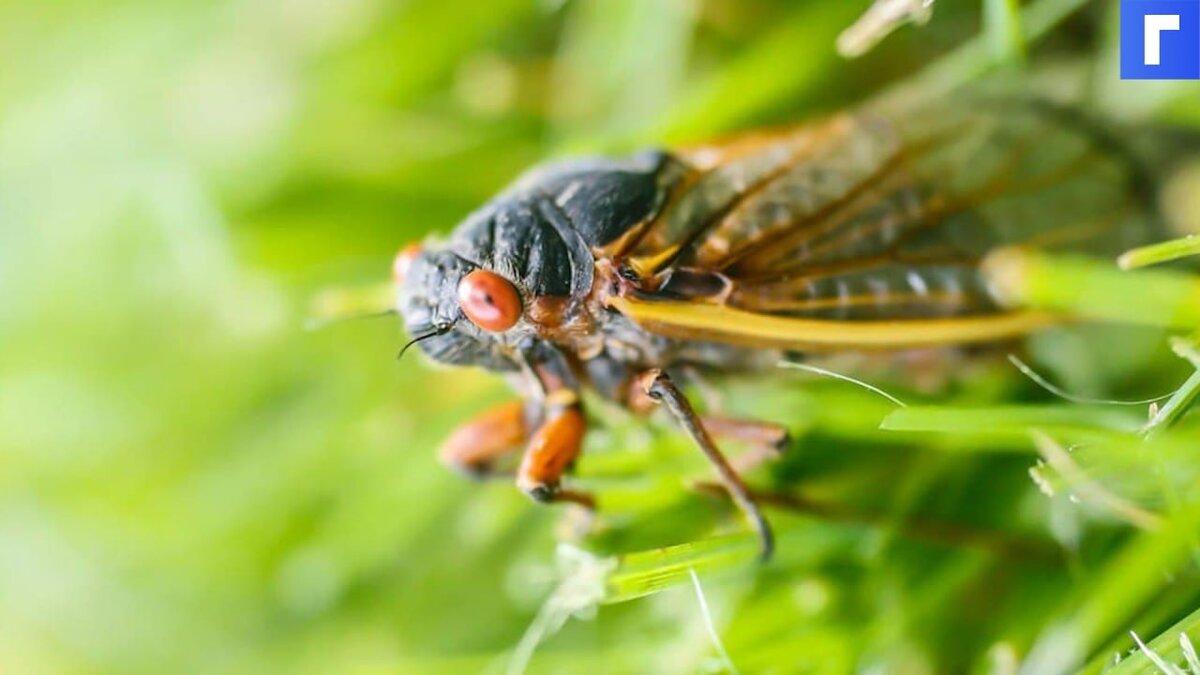 Красноглазые цикады «атаковали» США после 17 лет спячки
