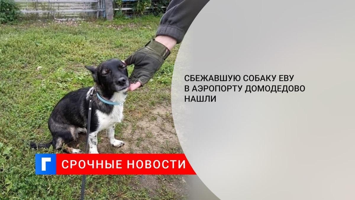 Потерявшуюся в московском аэропорту Домодедово собаку Еву нашли